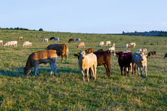 Herd of cows at summer green field Stock Photos