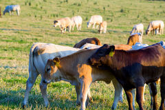 Herd of cows at summer green field Royalty Free Stock Photography