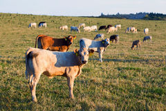 Herd of cows at summer green field Stock Photography