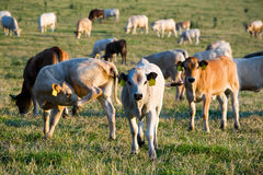 Herd of cows at summer green field Royalty Free Stock Image