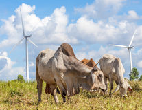 Herd of cows at summer green field in wind farm background. Royalty Free Stock Photography