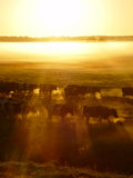Herd of cows on the sunset in the fog stock photo