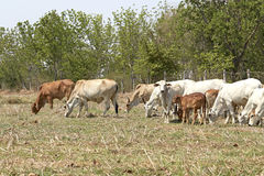 Herd of cows , thailand Stock Photography