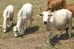 Herd of cows , thailand Royalty Free Stock Photo