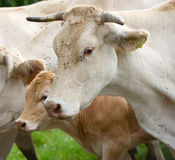 Herd of cows and veal in Pyrenees Stock Images