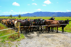 Herd of cows waiting for a change of pasture. Fox Glacier, New Zealand Royalty Free Stock Images