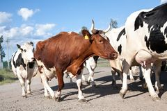 A herd of cows walking along the road closeup view. On cloudy blue sky background stock image