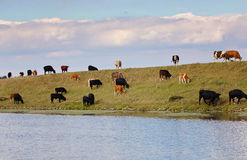 Herd of cows walking and grazing on top of a river bank. Royalty Free Stock Image
