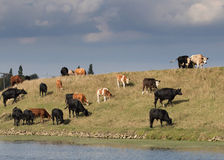 Herd of cows walking and grazing on top of a river bank. Stock Photography