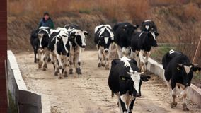 Herd of cows walking on the road. Farmers walking their herd nearby the farm. Livestock farming business stock video footage