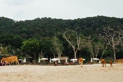 Herd cows walks along sandy sea beach against background green hill. Red haired cows walk along sand on beach among tourists. Sandy beach and tropical trees on Stock Photography