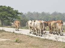 Cow Herd Follow The Leader Stock Image