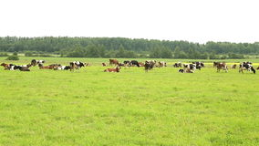 Herd of cows walks on the field stock video footage