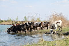 Herd of cows on the watering hole surrounded by green grass and reeds Royalty Free Stock Photos