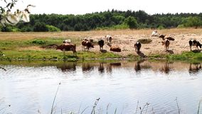 A herd of cows at the watering quenches thirst with water and rests at noon. A herd of cows at a watering place quenches thirst with water and rests at noon, and stock video footage