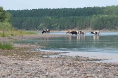 A herd of cows at a watering place by the river. Country view. Summer. In the background is a pine forest royalty free stock photo