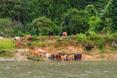 A herd of cows on a watering pond in countryside of Thailand Royalty Free Stock Image