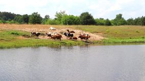 A herd of cows at the watering quenches thirst with water and rests at noon. A herd of cows at a watering place quenches thirst with water and rests at noon, and stock video