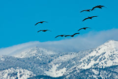 Herd of Cranes Over Mountains Royalty Free Stock Images