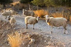 Herd of Cretan sheep, eye contact, group of animals. Curious face, evening sunlight Royalty Free Stock Photos