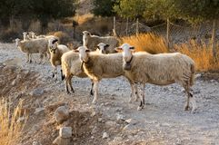 Herd of Cretan sheep, eye contact, group of animals. Curious face, evening sunlight Royalty Free Stock Images