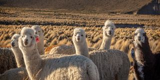Herd of curious alpacas in Bolivia. South America royalty free stock photo