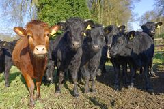 Herd of curious cows in an english field. tewin, hertfordshire. Herd of curious looking young black and brown cows standing in dirty field, tewin, hertfordshire stock images