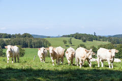 Herd of curious white Charolais beef cattle in a hilltop pasture. With the cows standing staring curiously at the camera in a line royalty free stock photography