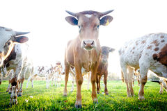 Herd of Curious Young Cows Royalty Free Stock Photography