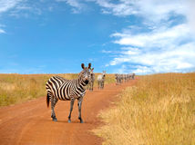 Herd of curious zebras looking and standing Royalty Free Stock Image