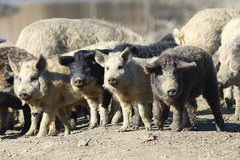 Herd of cute domestic pig Stock Photos
