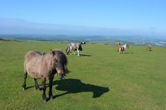 Dartmoor ponies grazing on Whitchurch Common, Dartmoor National Park, Devon, UK royalty free stock photography