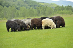 Herd of cute sheep on meadow in the mountains Royalty Free Stock Images