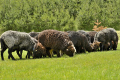 Herd of cute sheep on meadow in the mountains Stock Images