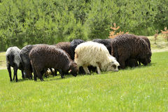 Herd of cute sheep on meadow in the mountains Royalty Free Stock Image
