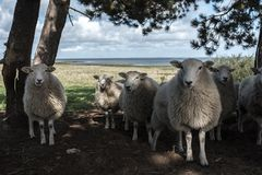 A herd of sheep in nature stock photos