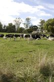 Herd of Dairy Cows Royalty Free Stock Images