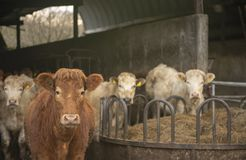 Herd of dairy cows in a barn. Outdoors stock photo