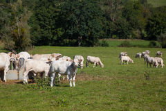 Herd of dairy cows in the Berry region, France Royalty Free Stock Photo