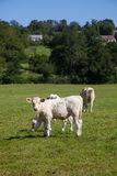 Herd of dairy cows in the Berry region, France Stock Photos