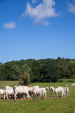 Herd of dairy cows in the Berry region, France Stock Photography