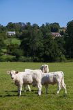 Herd of dairy cows in the Berry region, France Stock Images