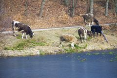 Herd of dairy cows farm animals on the river bank or lake shore Stock Photos