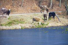 Herd of dairy cows farm animals on the river bank or lake shore Stock Photo