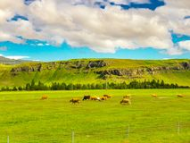 Herd of dairy cows grazing in the pasture Royalty Free Stock Photo