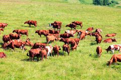 Herd of dairy cows on a pasture Stock Photo