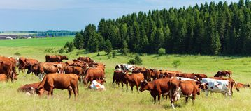 Herd of dairy cows on a pasture Royalty Free Stock Photo