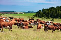 Herd of dairy cows Royalty Free Stock Photography