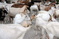 Herd of Dairy Goats Stock Photo