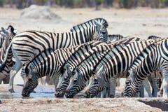Herd Damara zebra,  at waterhole, Royalty Free Stock Image